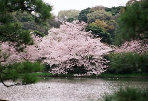 桜が咲く三渓園の庭